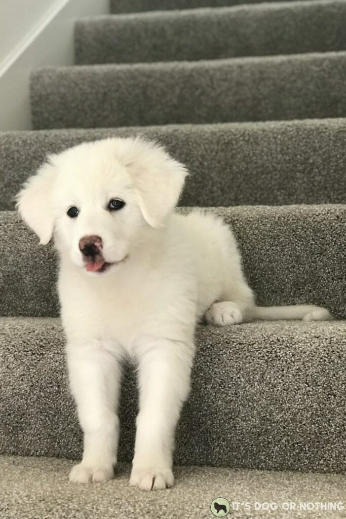 Great Pyrenees puppy on stairs