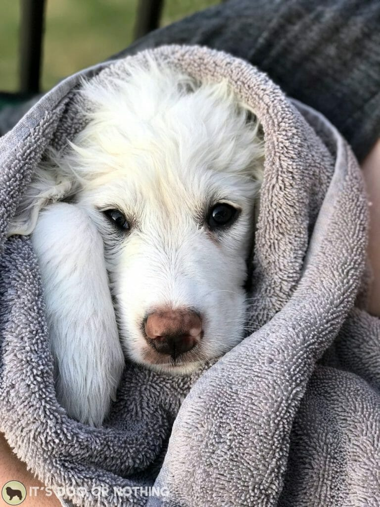 Great Pyrenees puppy wrapped in a towel